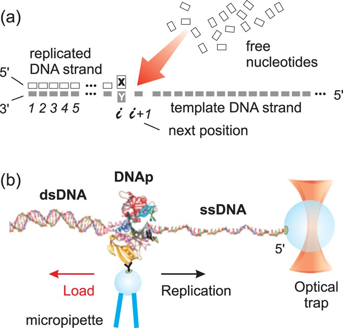 A dna centered explanation of the dna polymerase translocation dna replication scheme a abstract view of the single nucleotide addition reaction dna polymerase replicates a template strand from its 3 end to its pronofoot35fo Image collections