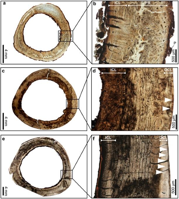 Bone Histology Sheds New Light On The Ecology Of The Dodo Raphus