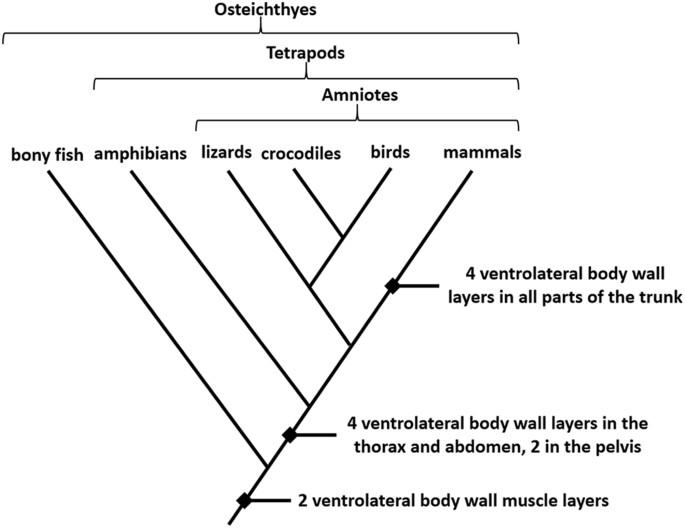 Reorganization Of Mammalian Body Wall Patterning With