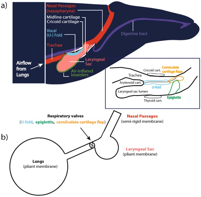 Whale Anatomy Lung Diagram - Information Of Wiring Diagram •
