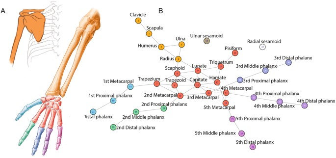 Comparison Of Musculoskeletal Networks Of The Primate Forelimb