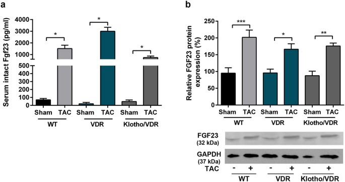 genetic ablation of fgf23 or klotho does not modulate experimental