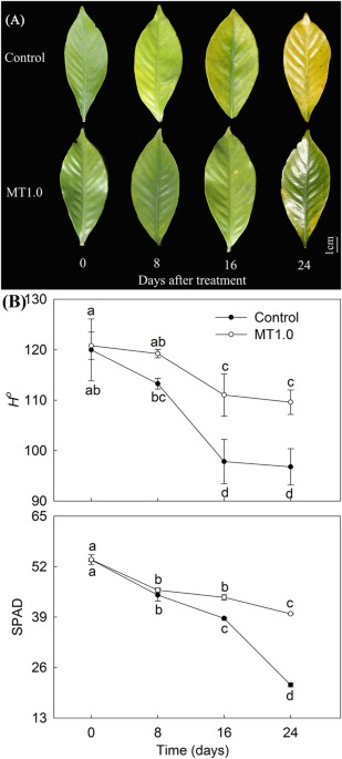 Ameliorative Effects Of Melatonin On Dark Induced Leaf