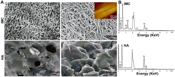 Bone Regeneration In Minipigs By Intrafibrillarly Mineralized