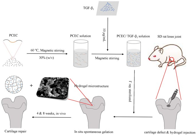Injectable and thermosensitive tgf 1 loaded pcec hydrogel system compound hydrogel was fabricated with simple procedures acellular hydrogels were implanted into rat knee joint defects via injection for in ccuart Gallery