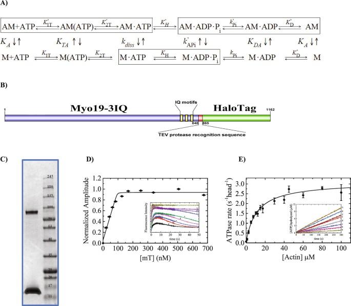 kinetic adaptation of human myo19 for active mitochondrial transport rh nature com