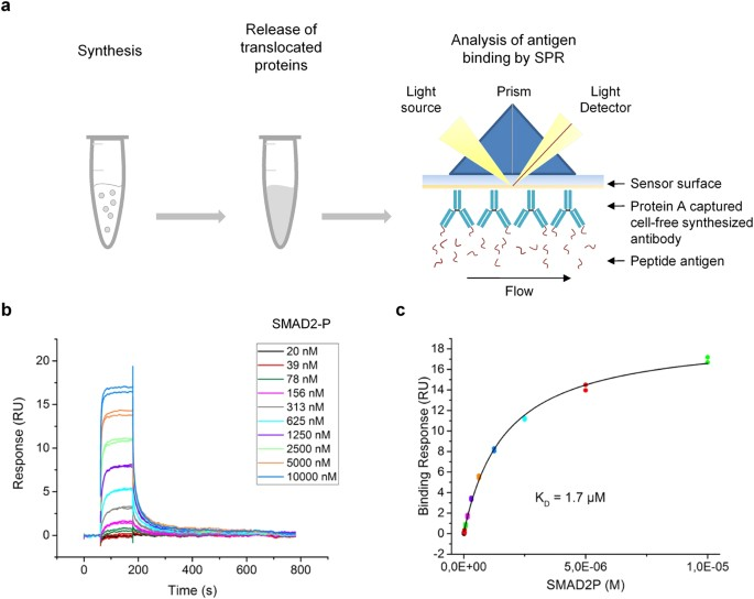 Cell Free Synthesis Of Functional Antibodies Using A Coupled In