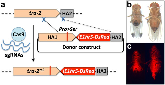 Temperature Dependent Sex Reversal By A Transformer 2 Gene Edited Mutation In The Spotted Wing Drosophila Drosophila Suzukii Scientific Reports