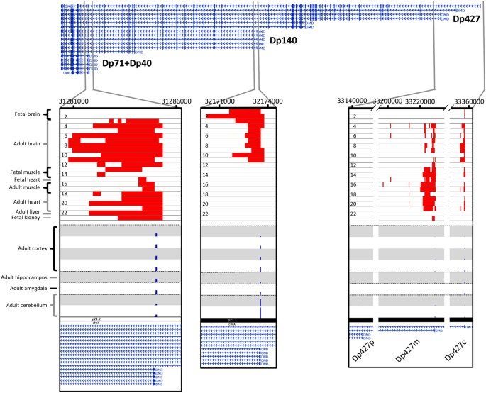 DMD transcription start sites. Genome browser view of the different TSSs  within the DMD gene. Active TSS state based on histone markers within the  DMD gene ...