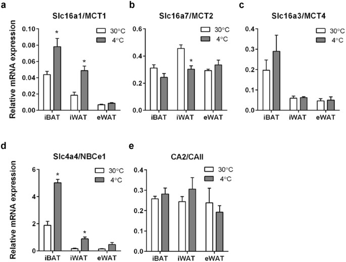 Mct1 And Mct4 Expression And Lactate Flux Activity Increase During