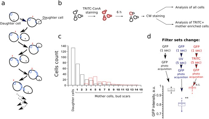 The Contribution Of Saccharomyces Cerevisiae Replicative Age To The