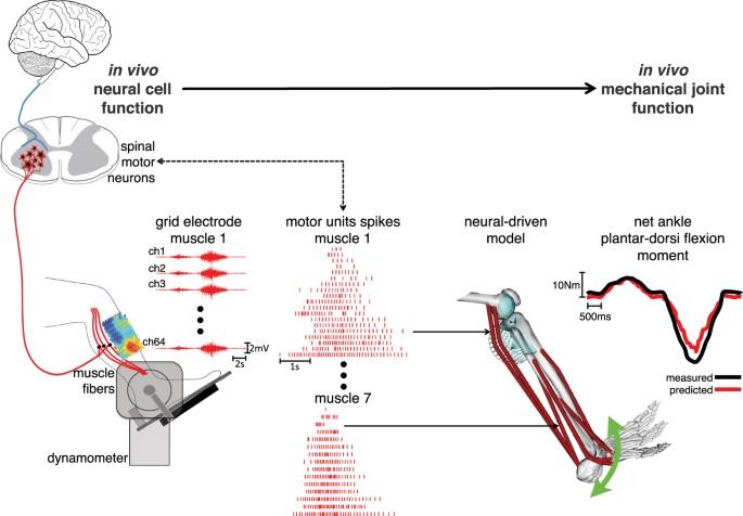 In Vivo Neuromechanics Decoding Causal Motor Neuron Behavior With