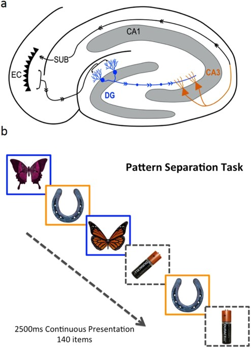 The Impact Of Ageing Reveals Distinct Roles For Human Dentate Gyrus