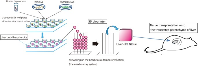 in vivo and ex vivo methods of growing a liver bud through tissue Liver Purpose a schematic diagram of our tissue transplantation strategy scalable liver like tissue was constructed using the 3d bioprinter and was transplanted onto the