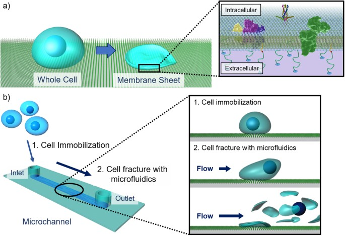microfluidic preparation of anchored cell membrane sheets for in