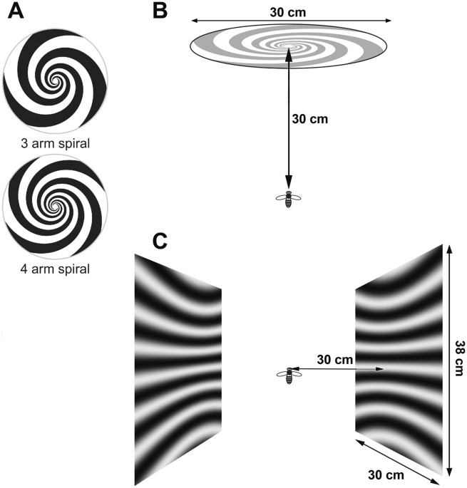 bcb806e2a (B) Positioning of the bee relative to the frontal spiral stimulus. (C)  Illustration of the lateral stimulus screens.
