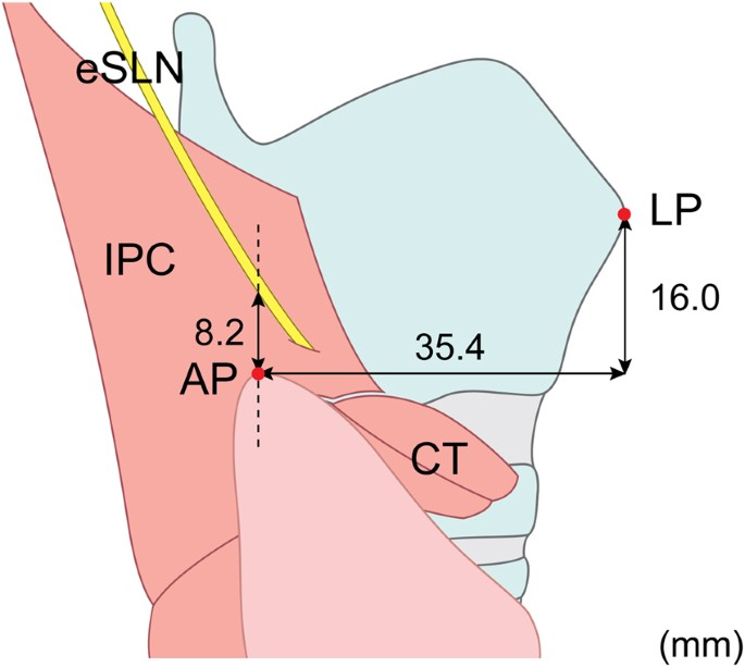 Anatomy Of The External Branch Of The Superior Laryngeal Nerve In