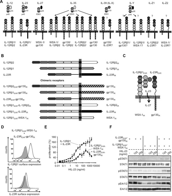 Il 6il 12 Cytokine Receptor Shuffling Of Extra And Intracellular