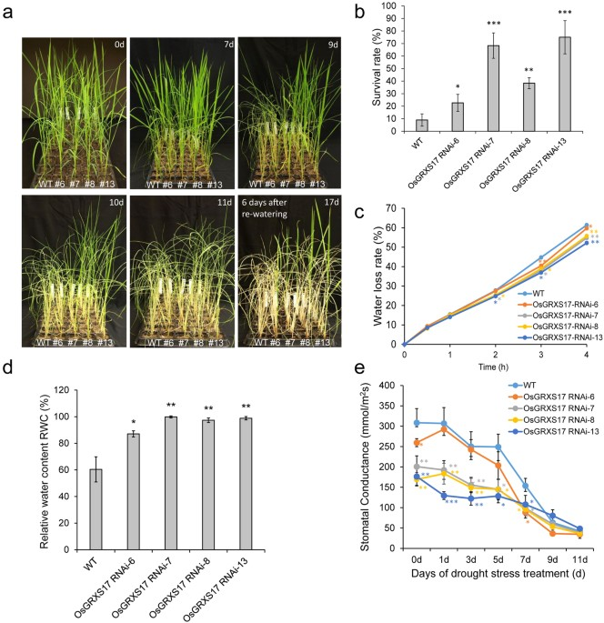 a drought stress treatment of wild type and osgrxs17 silenced rice plants the four week old plants 0d were treated by withholding water for
