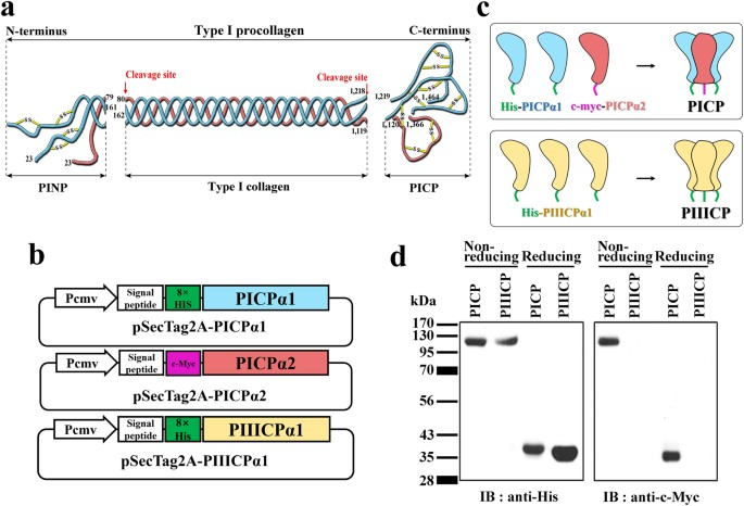 Production Of Recombinant Human Procollagen Type I C