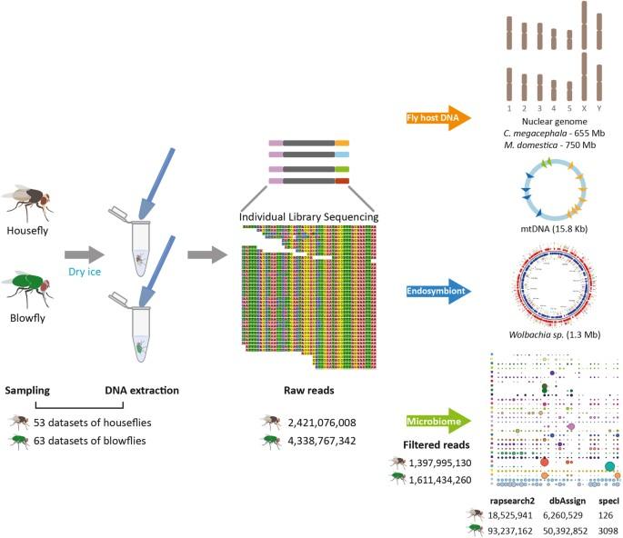The Microbiomes Of Blowflies And Houseflies As Bacterial