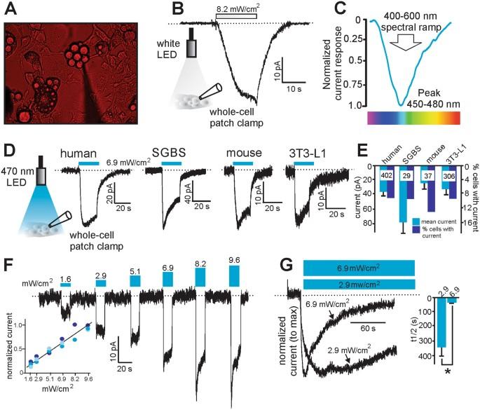 Subcutaneous White Adipocytes Express A Light Sensitive Signaling