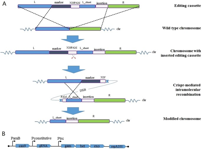 Crisprcas9 Assisted Grna Free One Step Genome Editing With No