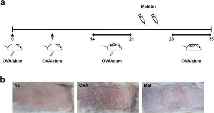 Beneficial effects of melittin on ovalbumin-induced atopic