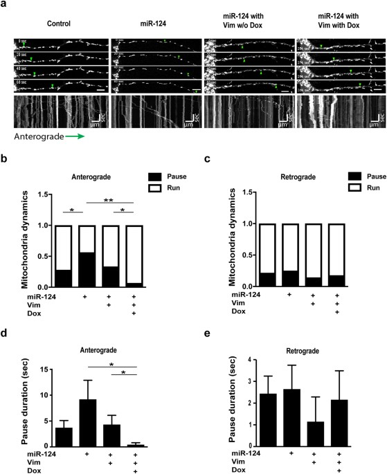 High content image analysis reveals function of mir 124 upstream of mir 124 and vimentin co regulate mitochondria motility in primary motor neurons primary motor neurons of control mir 124 overexpression alone or ccuart Image collections