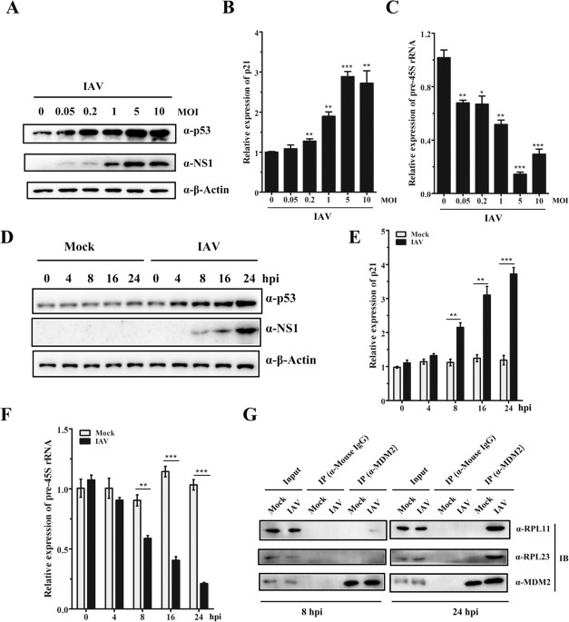 Non Structural Protein 1 Of H3n2 Influenza A Virus Induces Nucleolar