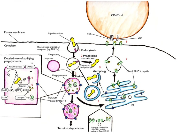 Mycobacterium Tuberculosis Exploits A Molecular Off Switch Of The