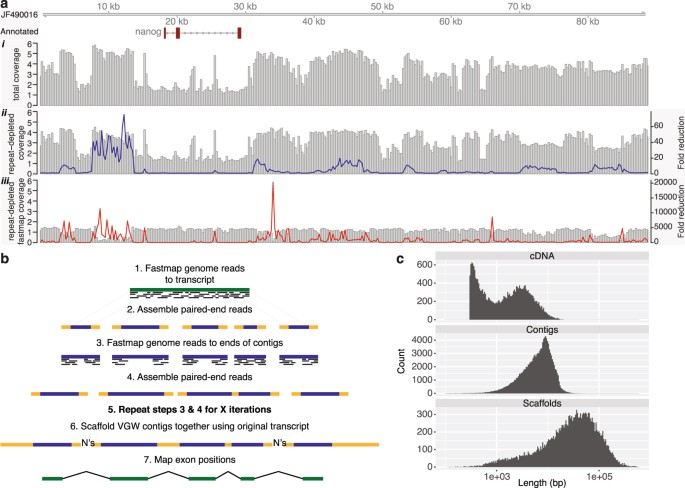 Virtual Genome Walking Across The 32 Gb Ambystoma Mexicanum Genome