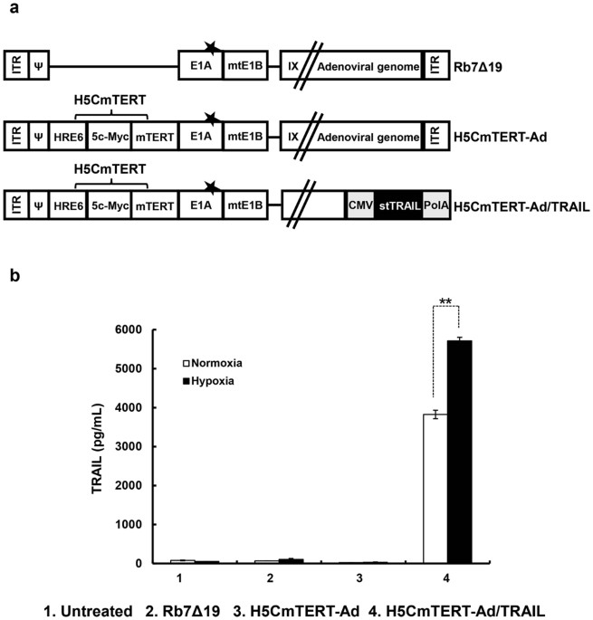 Construction And Generation Of H5cmtert Promoter Regulated Oncolytic Adenoviruses A Schematic Representation The Genomic Structures