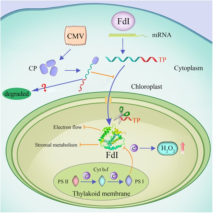 Cucumber mosaic virus coat protein induces the development of model for fd i functions during viral infections after it is synthesized in the cytoplasm the fd i precursor is imported into chloroplasts because of the ccuart Choice Image