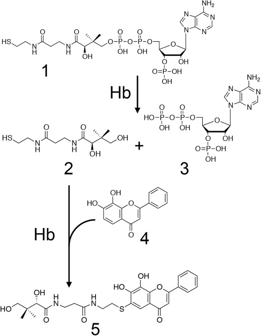 Hemoglobin Catalyzes Coa Degradation And Thiol Addition To