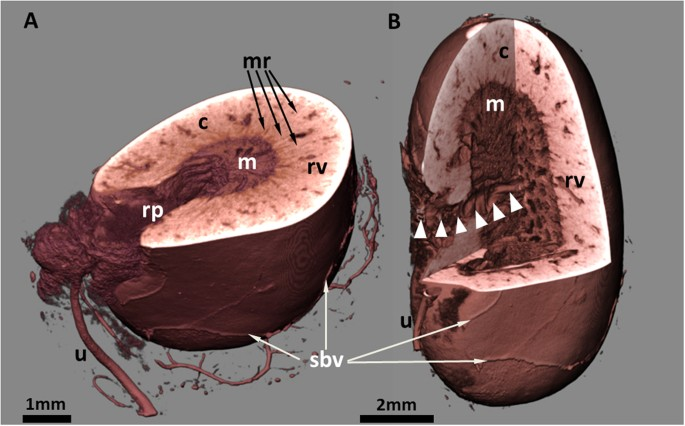 3d Virtual Histology Of Murine Kidneys High Resolution