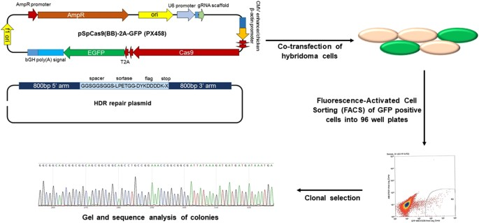 Illustration Of CRISPR Cas9 Genome Editing Approach Hybridoma Cells For Site Specific Modification Antibodies Were Modified By