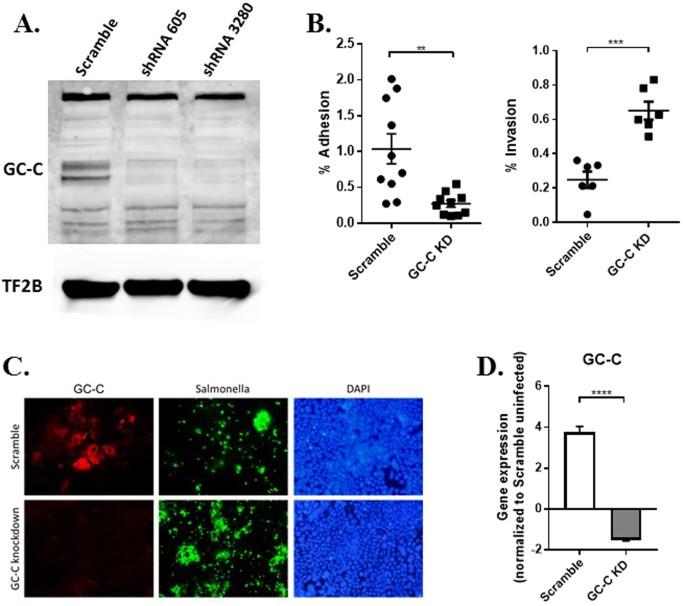 Guanylate cyclase C reduces invasion of intestinal