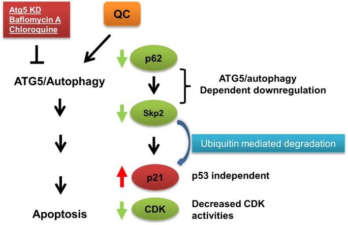 Quinacrine Upregulates P21 P27 Independent Of P53 Through