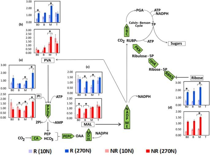 Nitrogen Supply Influences Photosynthesis Establishment Along The