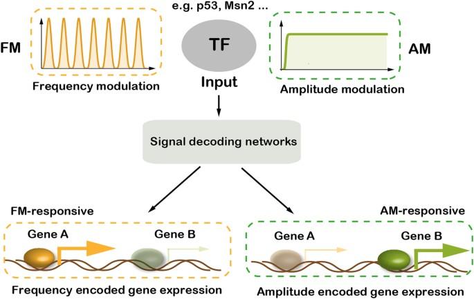 Network Motifs Capable of Decoding Transcription Factor Dynamics   Scientific Reports