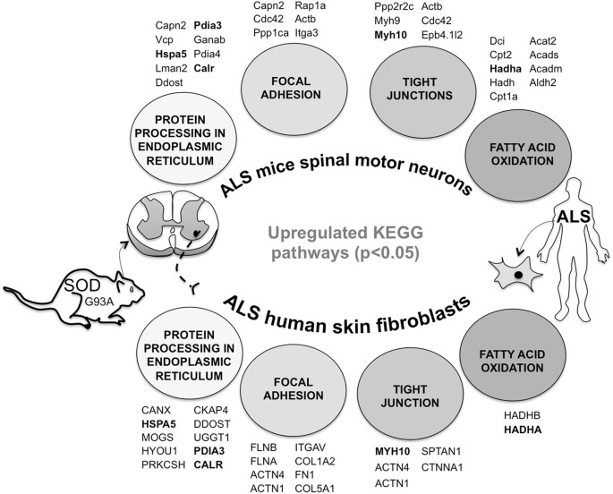 Common Pathogenic Proteomic Features Of Amyotrohpic Lateral Sclerosis Between Sod1g93a Mice Motor Neurons And Skin Fibroblasts