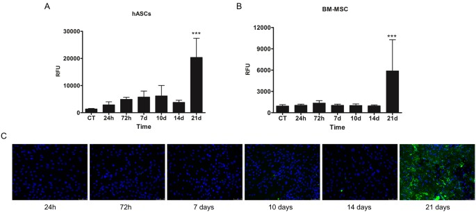 hASCs need 21 days of in vitro induction to become osteoblasts. hASCs (A)  or BM-MSC (B) were maintained in differentiation-inducing conditions for  different ... 723dd04c971
