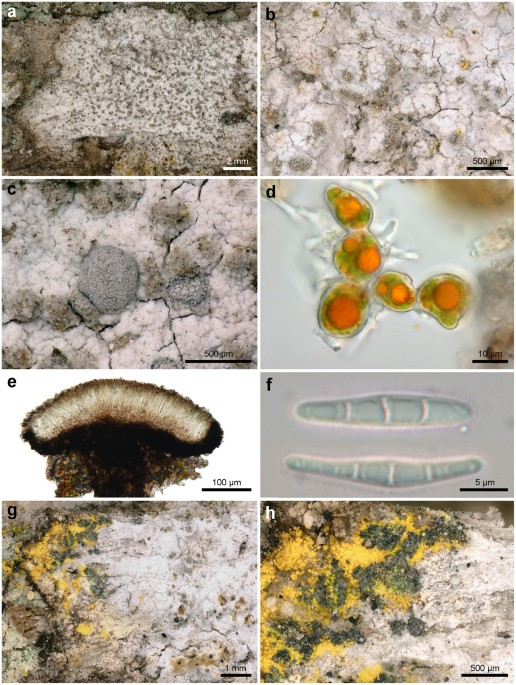 Photobiont switching causes changes in the reproduction strategy and ...