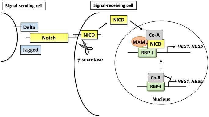 The Notch Inhibitor Cowanin Accelerates Nicastrin