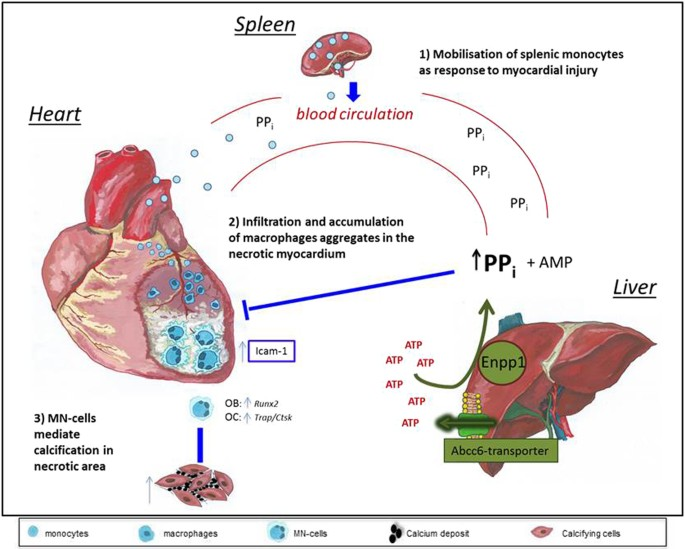 Etidronate prevents dystrophic cardiac calcification by inhibiting ...