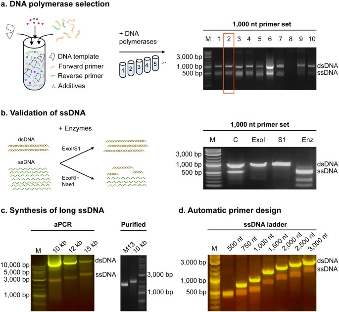 In vitro synthesis of gene-length single-stranded DNA
