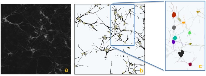 Automated sorting of neuronal trees in fluorescent images of