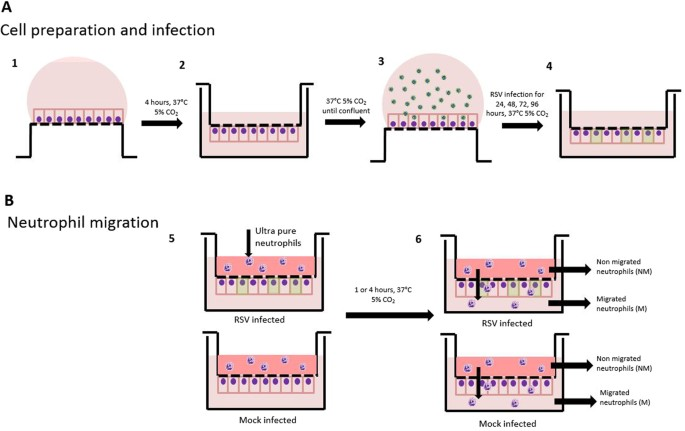 An in vitro transepithelial migration assay to evaluate