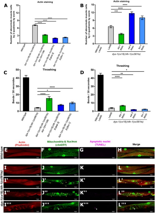 DRP-1-mediated Apoptosis Induces Muscle Degeneration In